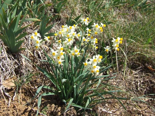 Narcissus - les narcisses Dscf7812