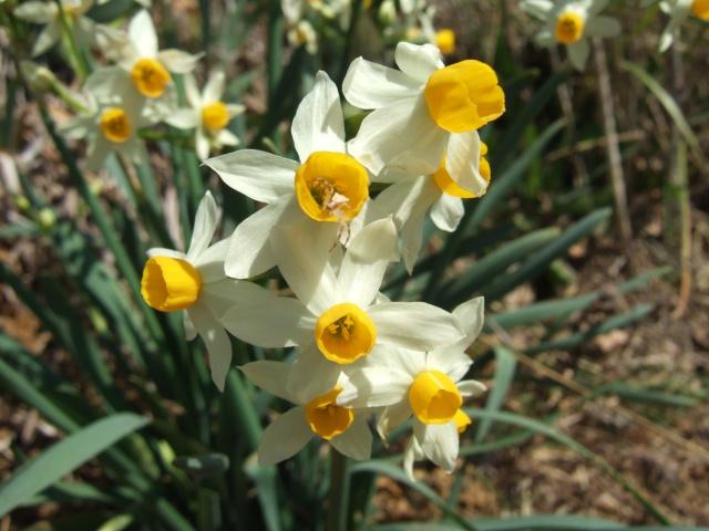 Narcissus - les narcisses Dscf7813