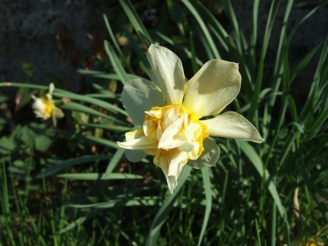 Narcissus - les narcisses - Page 2 Dscf8310