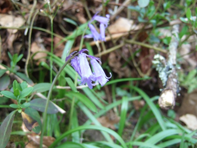 Hyacinthoides hispanica et Hyacinthoides non scripta Dscf8412