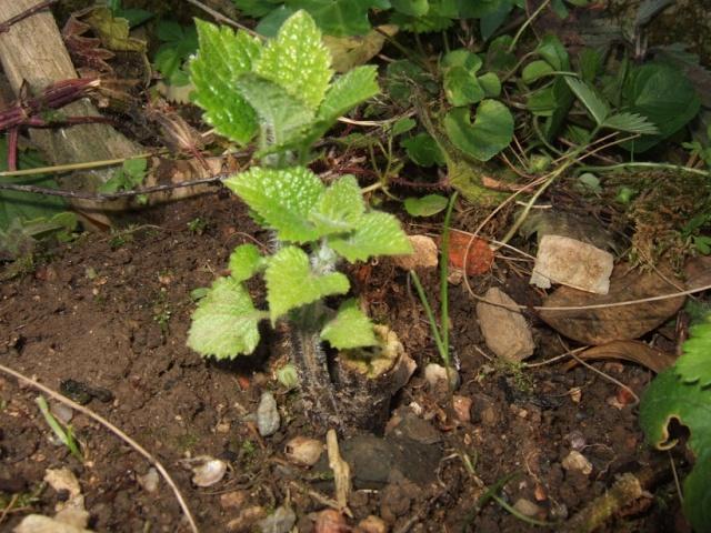 Salvia guaranitica Dscf8612