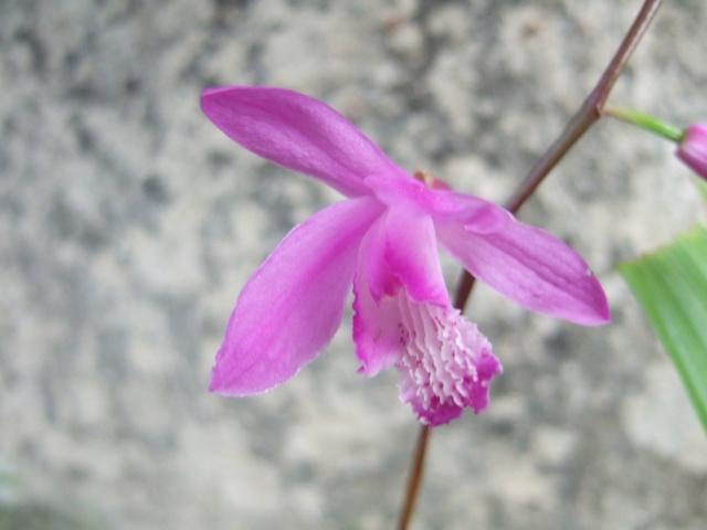 Bletilla striata - orchidée du Japon Dscf8711
