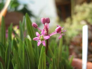 Ledebouria cooperi  (= Scilla adlamii) Dscf8814