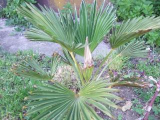 Palmiers rustiques  Dscf9010