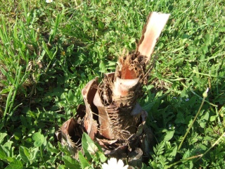 Palmiers rustiques  Dscf9011