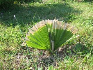 Palmiers rustiques  Dscf9013