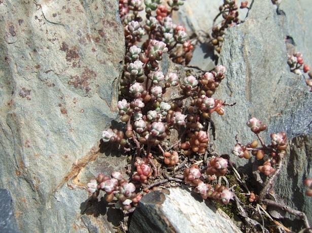 Crassulacées des Pyrénées : Sedum brevifolium, Sempervivum montanum Dscf9111
