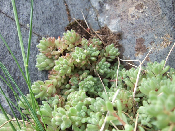 Crassulacées des Pyrénées : Sedum brevifolium, Sempervivum montanum Dscf9114