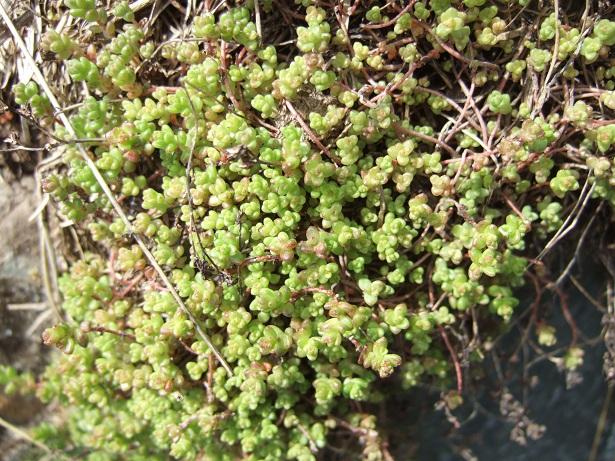 Crassulacées des Pyrénées : Sedum brevifolium, Sempervivum montanum Dscf9115