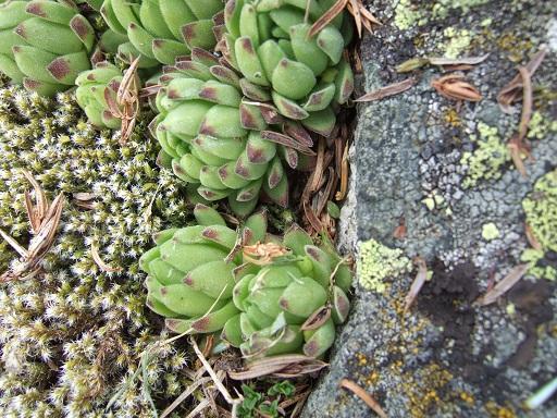 Crassulacées des Pyrénées : Sedum brevifolium, Sempervivum montanum Dscf9117