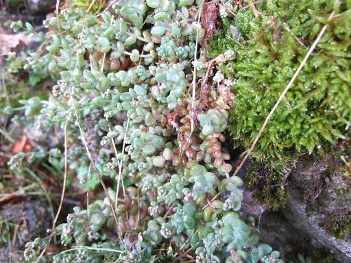 Crassulacées des Pyrénées : Sedum brevifolium, Sempervivum montanum Dscf9210