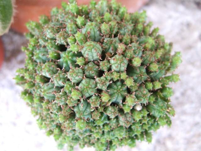 Euphorbia clavarioides [identification à suivre] Dscf9536