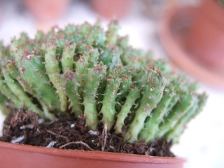 Euphorbia clavarioides [identification à suivre] Dscf9611
