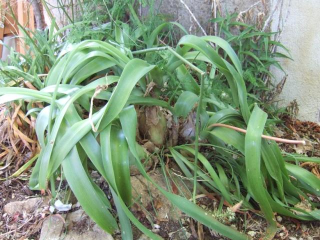 Albuca bracteata (= Ornithogalum caudatum) Dscf9725