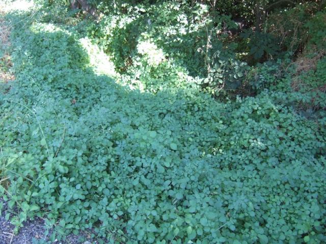 Salpichroa origanifolia - muguet des pampas Dscf9824