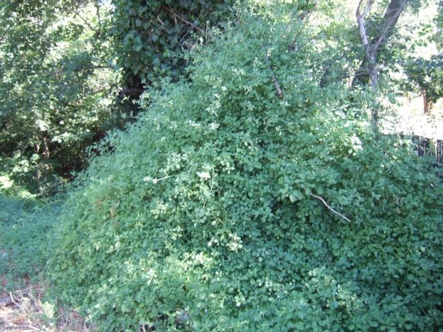 Salpichroa origanifolia - muguet des pampas Dscf9825
