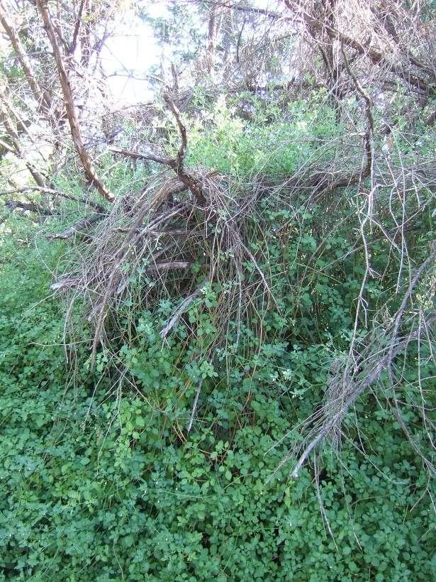 Salpichroa origanifolia - muguet des pampas Dscf9827