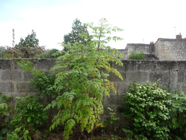 Dahlia imperialis P1000510
