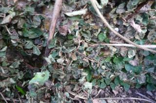 Ficus pumila P1020412