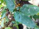 Plantes vendu pour un orange rubra Img_1724