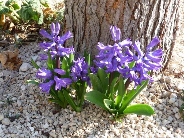 Jacinthe , Hyacinthus - Page 5 P1160219