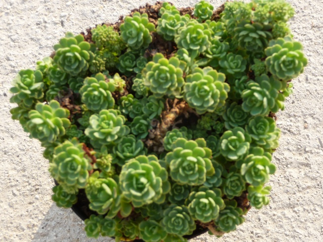 Mon nouveau Sedum à identifier!!! Sedum glaucophyllum P1160510