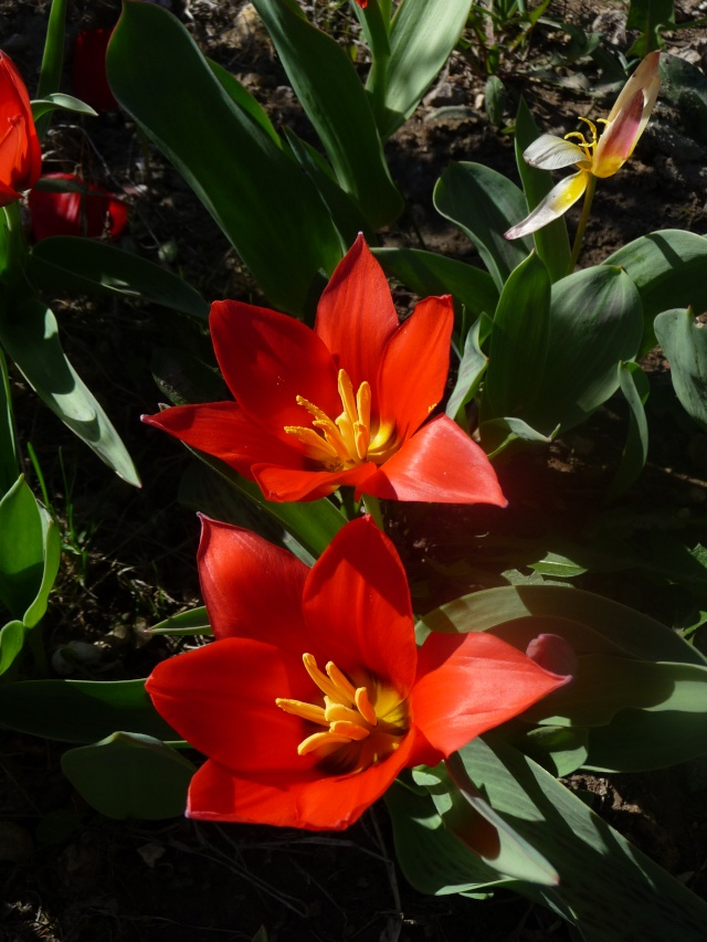 Tulipe 2012  - Page 6 P1160519