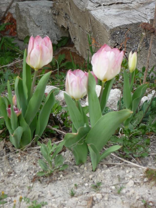 Tulipe 2012  - Page 5 P1160521