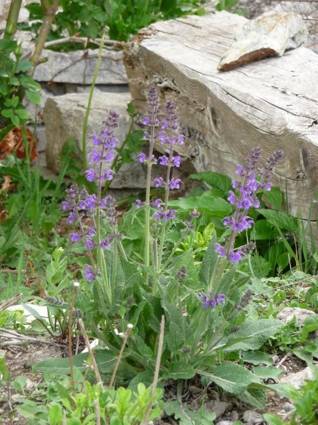 Salvia nemorosa P1160610