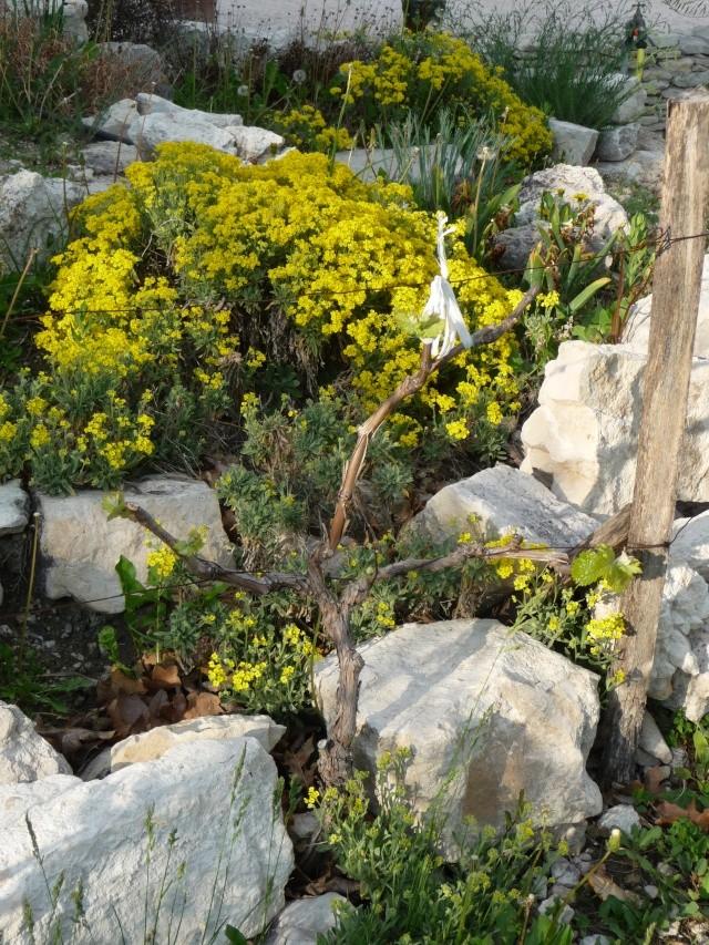 Corbeille d'or, Allyssum saxatile P1160611