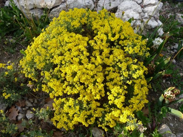 Corbeille d'or, Allyssum saxatile P1160612