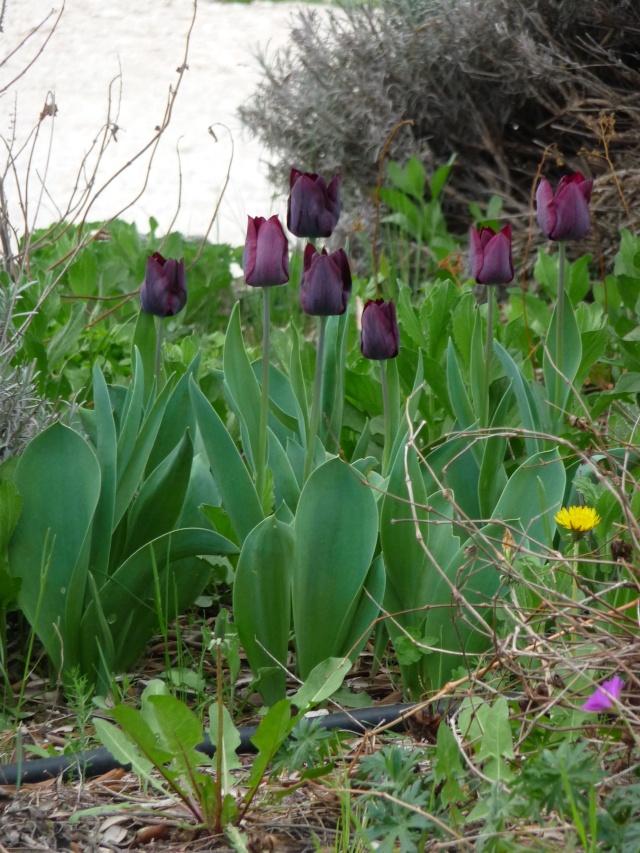 Tulipe 2012  - Page 5 P1160613