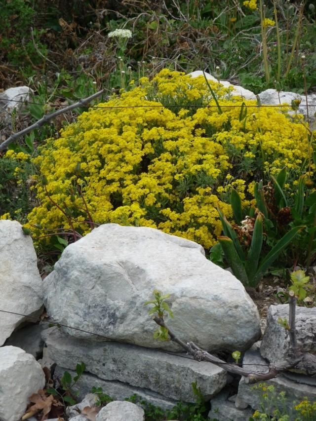 Corbeille d'or, Allyssum saxatile P1160616