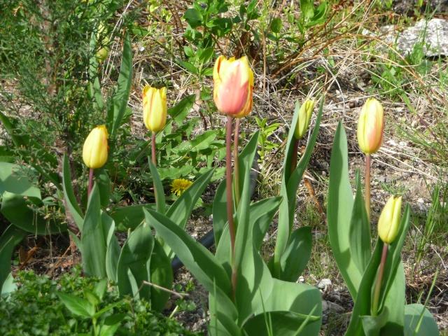 Tulipe 2012  - Page 5 P1160620