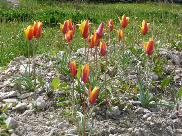 Tulipe 2012  - Page 6 P1160622