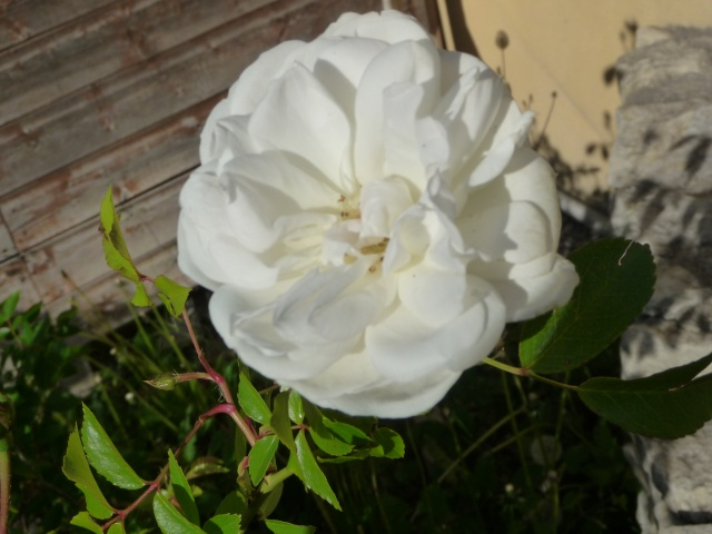 Nos rosiers, année 2012 P1170111