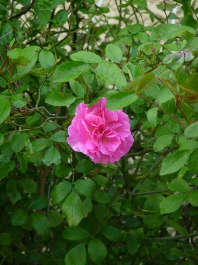 Nos rosiers, année 2012 P1170210
