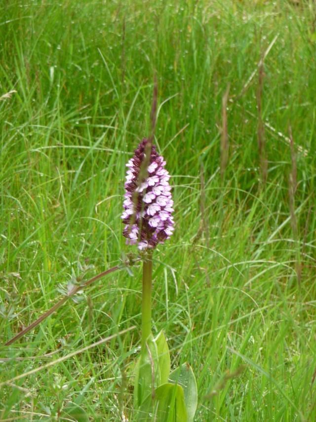 Orchis sauvage à identifier : Orchis purpurea P1170615