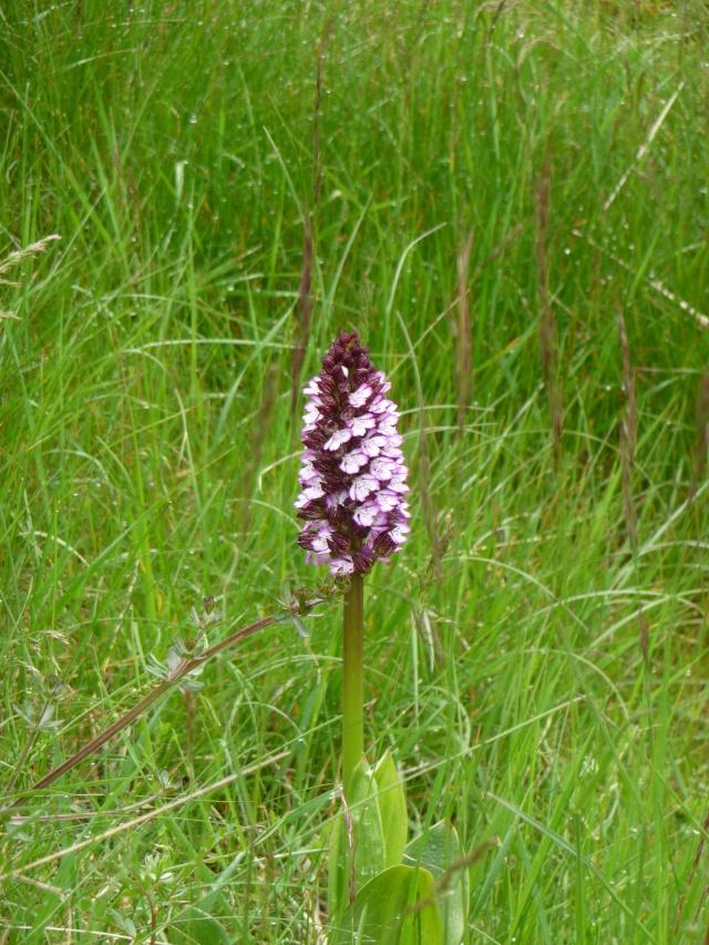 Orchis sauvage à identifier : Orchis purpurea P1170616