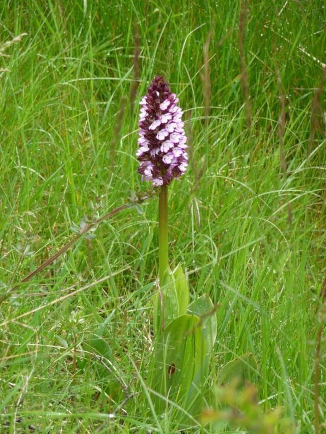 Orchis sauvage à identifier : Orchis purpurea P1170617