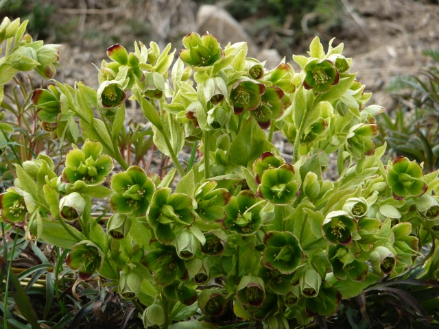 Hellebore des Alpes à identifier : Hellébore fétide, Ellébore fétide ou Pied-de-griffon (Helleborus foetidus L P1170618