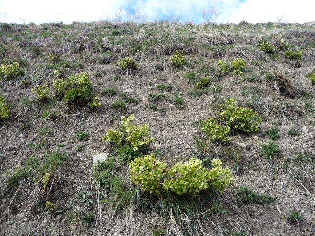 Hellebore des Alpes à identifier : Hellébore fétide, Ellébore fétide ou Pied-de-griffon (Helleborus foetidus L P1170619