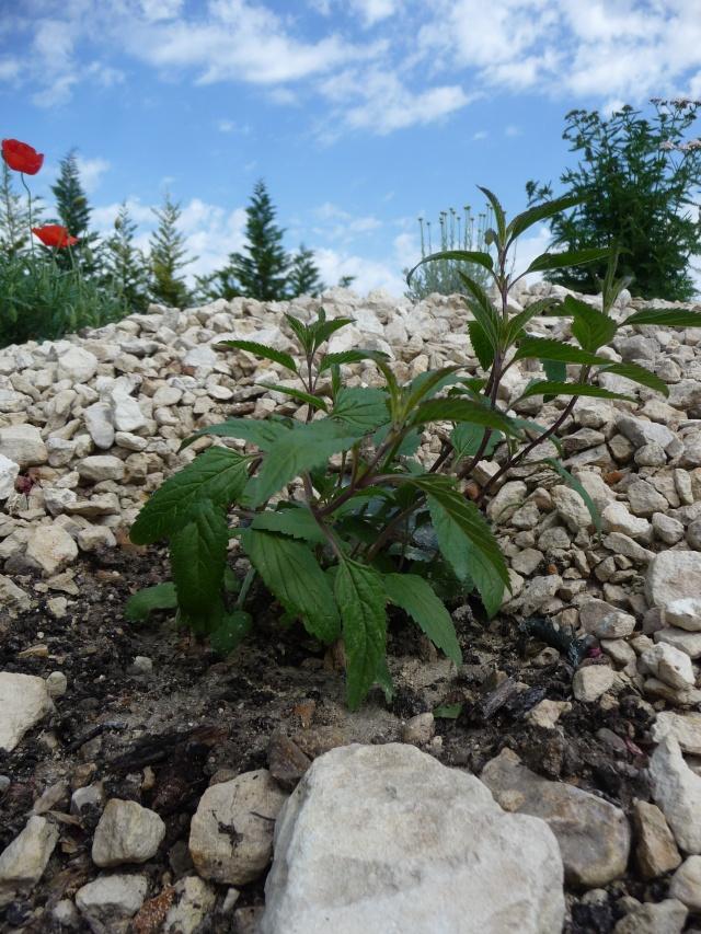 Salvia uliginosa P1180113