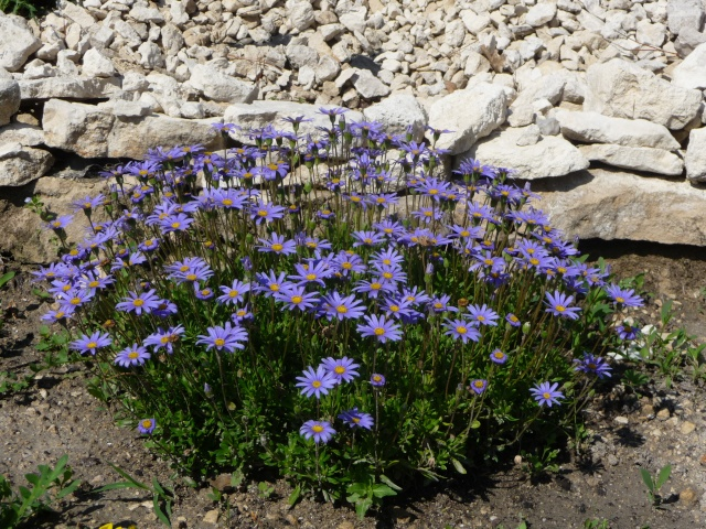 Felicia amelloïdes, Aster du Cap, Agathea caelestis P1180117