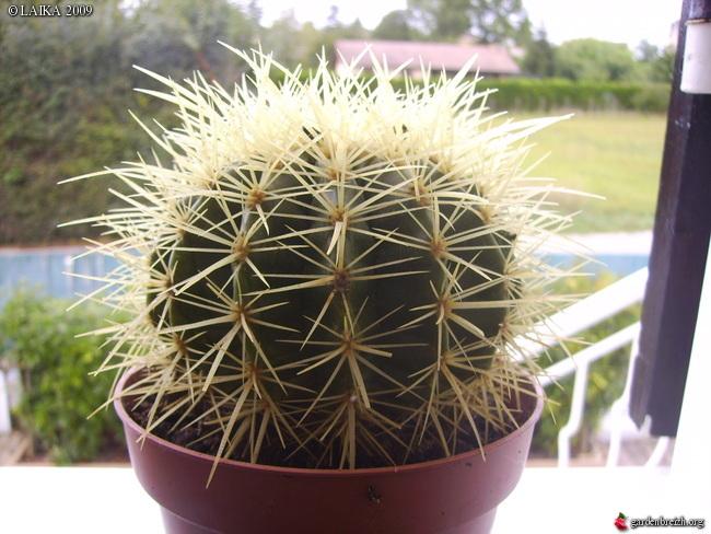 mes cactus et succulentes Gbpix_15