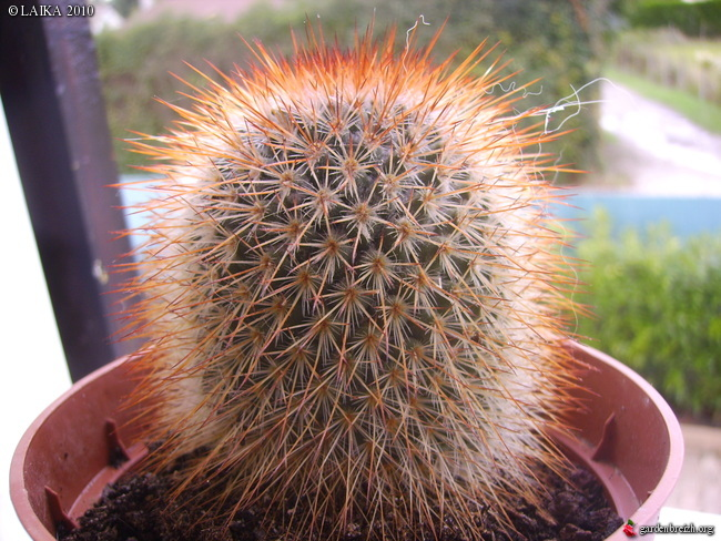 mes cactus et succulentes Gbpix_16