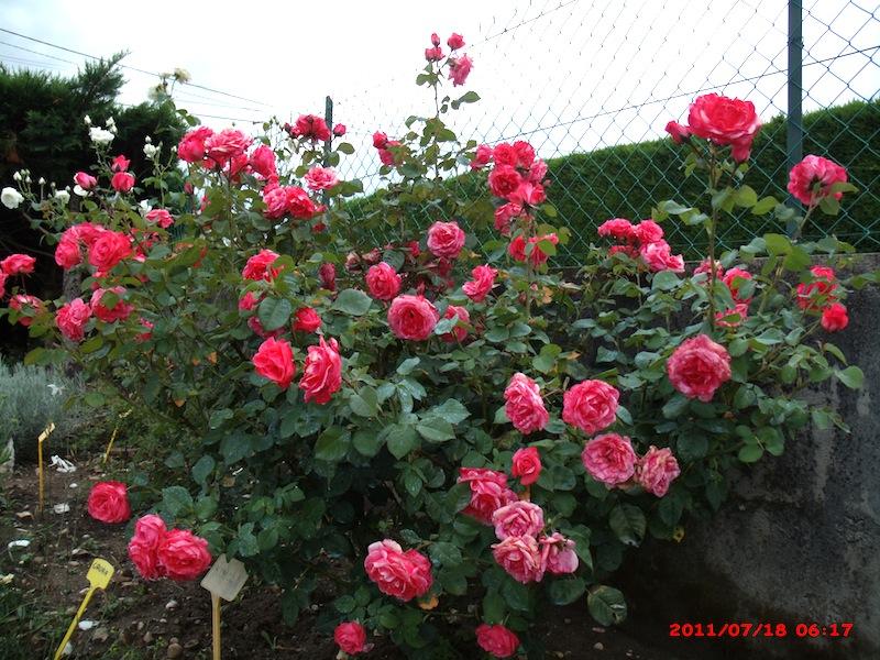 Mon jardin extérieur Gedc3610