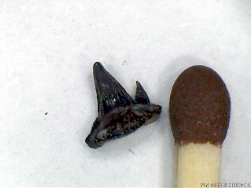 One of the shark teeth  i found in Aust Small_10