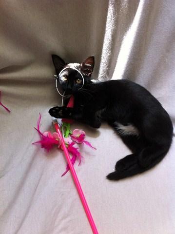 Hellia, chatonne noire née en avril 2012 2012-044