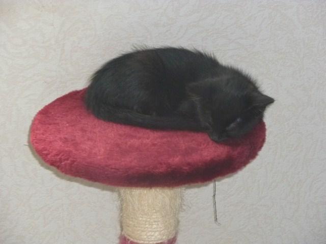 Hellia, chatonne noire née en avril 2012 Hellia11